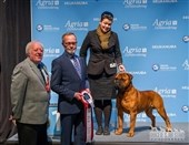 Dansk bullmastiff BEST IN SHOW på Nordic Winner Show