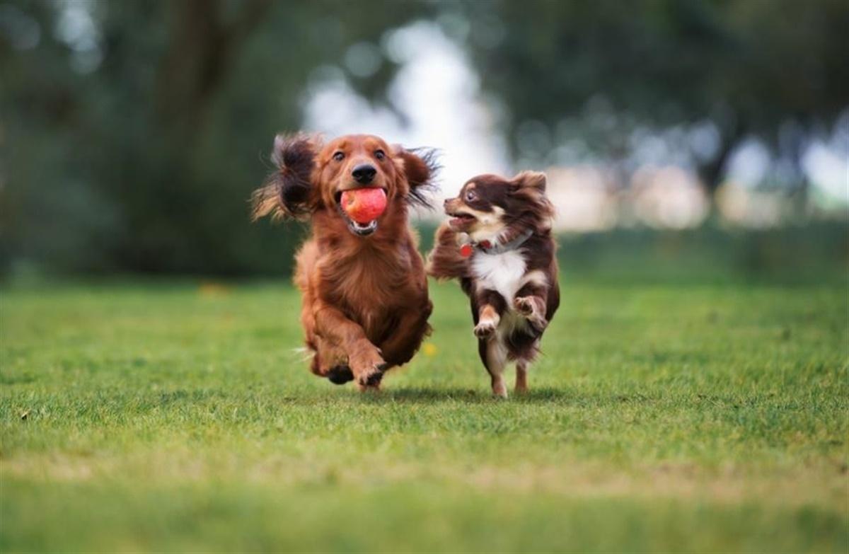 hvorfor æder hunde afføring
