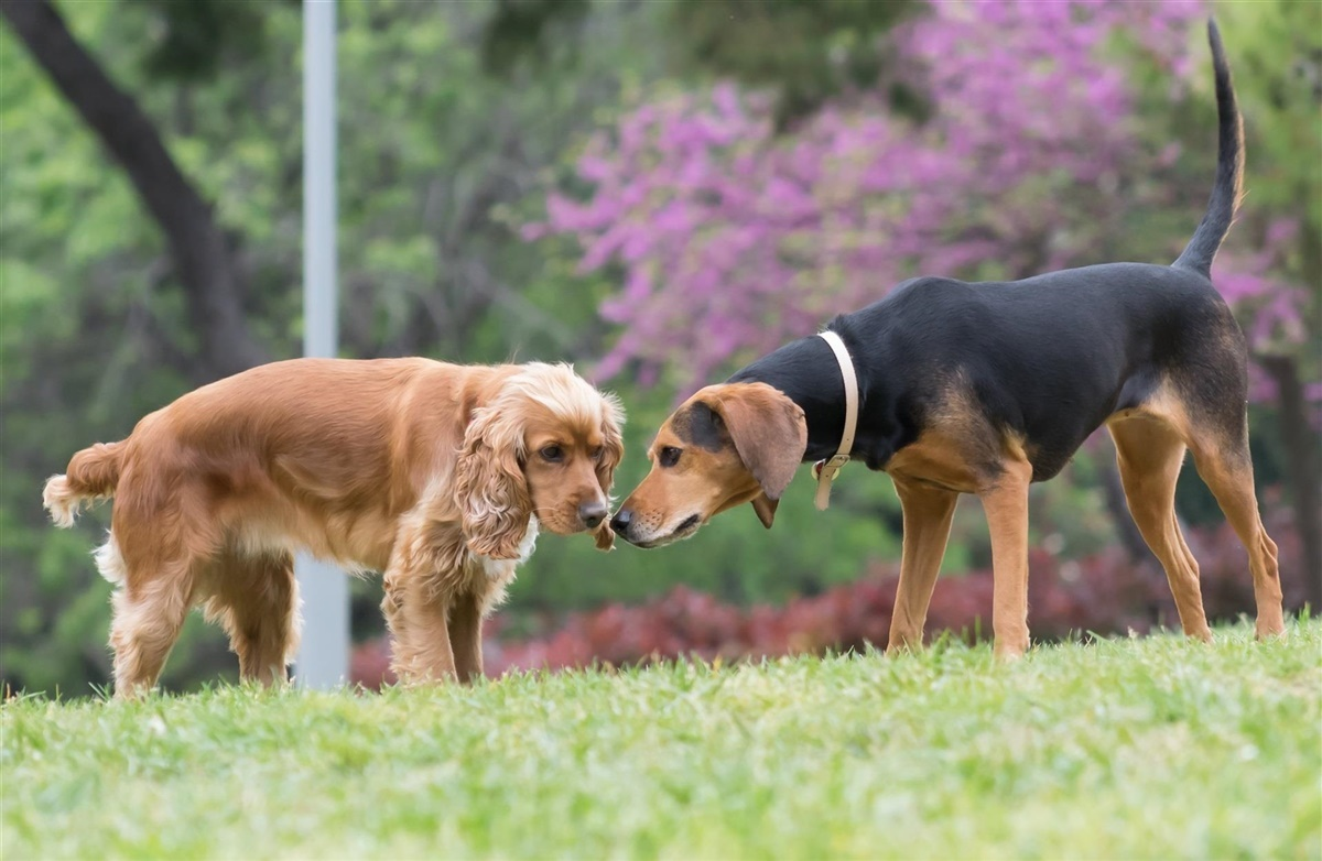 hvornår kan en hund blive drægtig