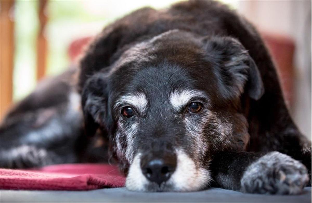 gammel hund sover meget