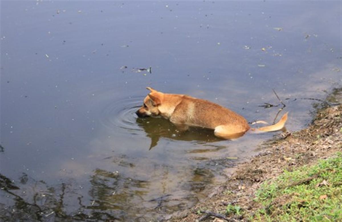 hund drikker ikke vand