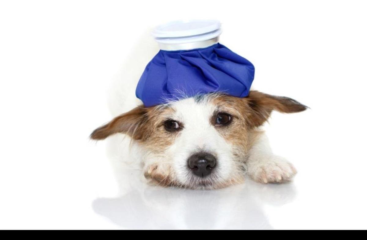 hunde meningitis