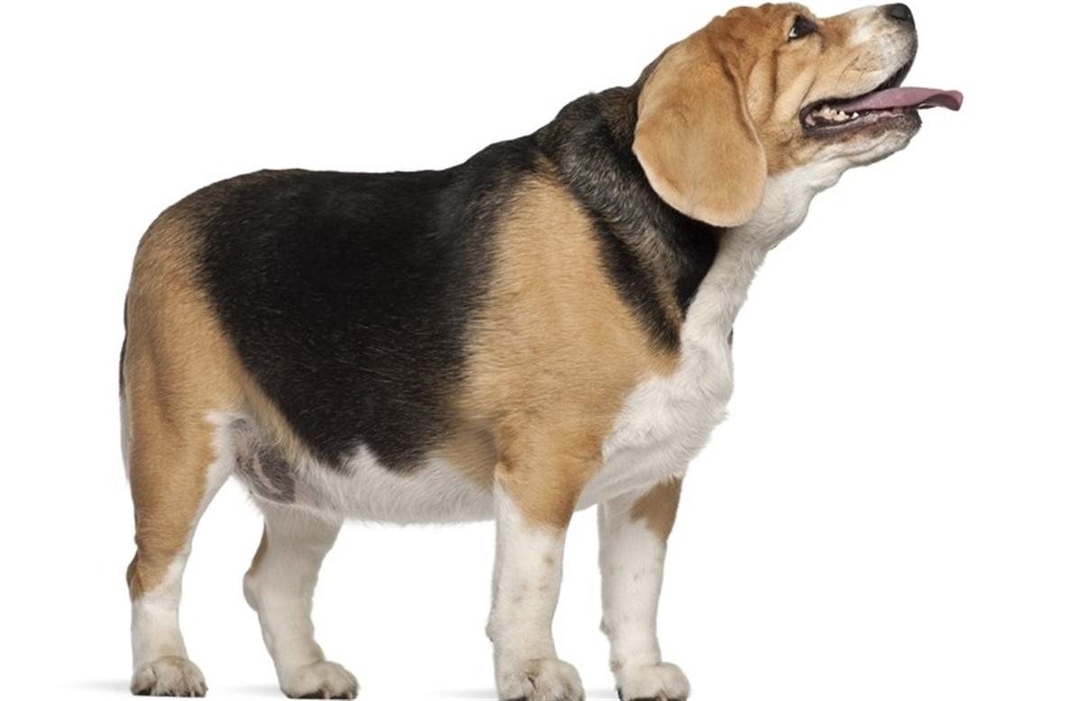 ledsmerter hos hunde
