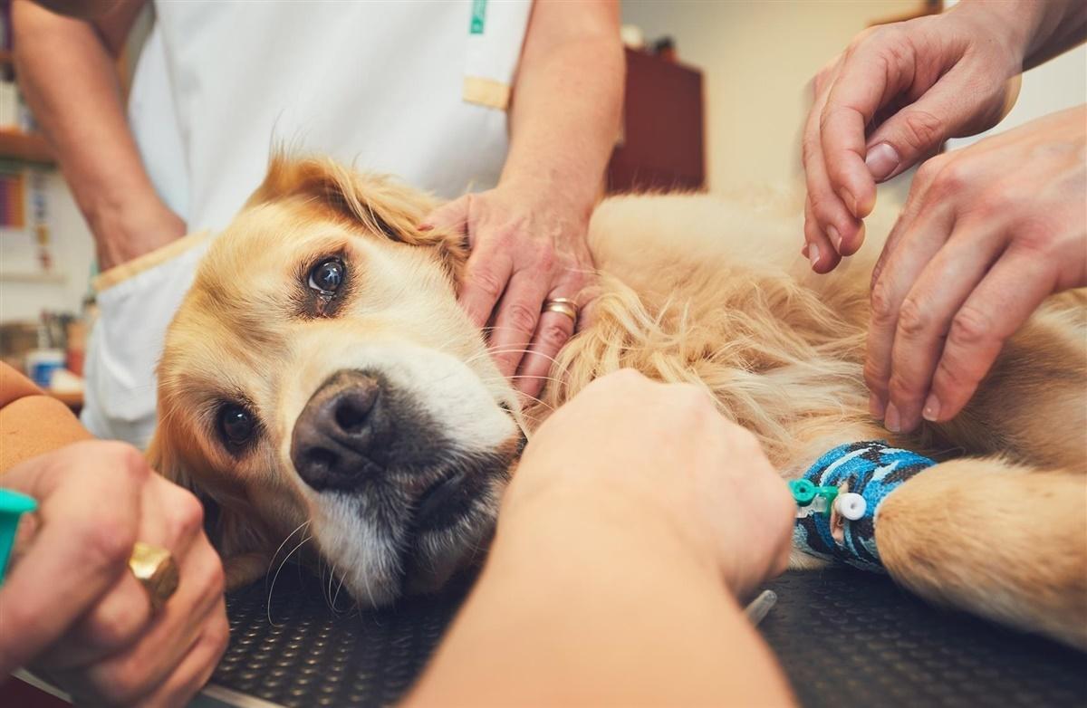 blodmangel hos hund
