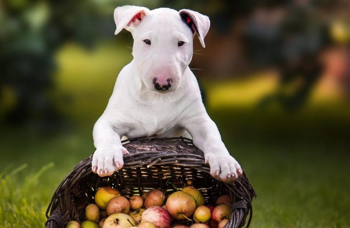 hunde og æbler