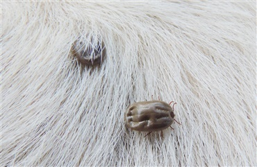 borrelia symptomer hund